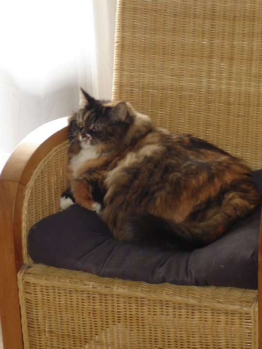Image description: Mave, a longhair tortie-calico mix, sitting on a brown cushion on a wicker chair.