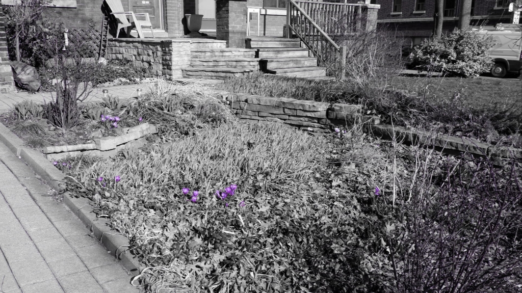ID: A black and white photo of a thatched early spring garden features sporadic purple crocuses in bloom.